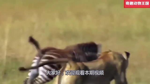 比开挂民族还厉害的人类群体,正面和狮子抢食物,狮子:怕了你们|群体构建