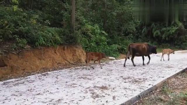 路边跑出来了10头黄牛,应该是一个群体的,不知它们要去哪里|群体构建