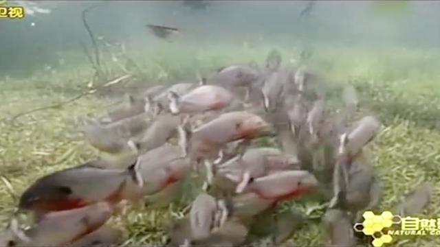 锯脂鲤的群体数量可达100多条,一旦发现猎物,它们会蜂拥而上|群体构建