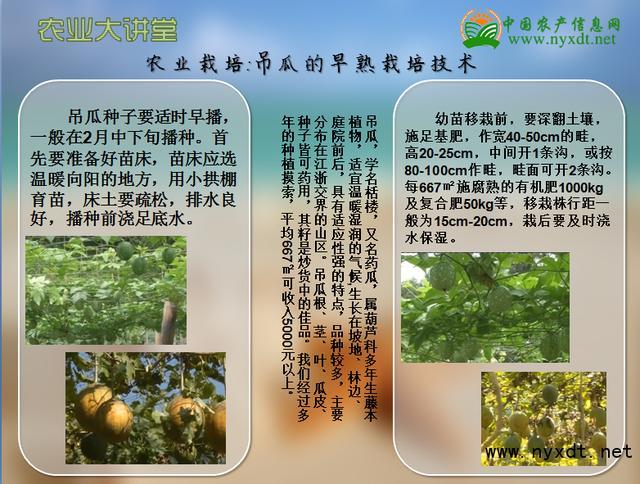 星游娱乐注册登录2-农业栽培:吊瓜的早熟栽培技术