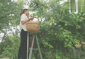 麦黄季节成熟的水果,城里三块钱一斤滞销,农村七块钱一斤遭疯抢