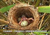 """杜鹃""""鸟中流氓""""一只幼鸟的存活,都以其它几只鸟蛋的生命为代价"""
