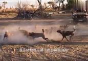 狮子遇上了狒狒,结果惨遭狒狒吊打,狮子:大哥我错了!