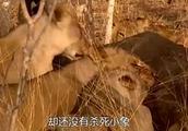 断腿的小象被遗弃 狮子吃了好几个小时 小象还没断气