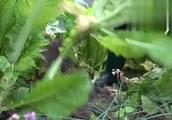 这种青菜,不吃叶子,只吃茎,能好吃吗