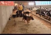 德国牧羊犬可爱的小幼犬