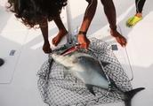 激烈的马尔代夫海钓赛,全员海钓老手的BKK战队,同时钓得两条GT