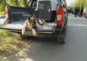 小德国牧羊犬两只耳朵竖着神气十足,才四个半月就有猛犬的样子了