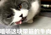 「萌宠」你一个小大肥猫,连牛肉都解决不了,如何统治地球?