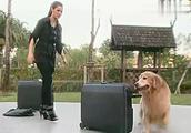 爱在旅途:狗狗不让主人走,一系列动作,主人居然懂了