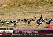 黑颈鹤如约而至,自然保护区已经做好准备,帮助黑颈鹤越冬
