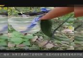 网传黄瓜打激素视频,专家解释根本吸收不了,就是肥料广告