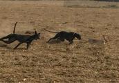 实拍狐狸大战惠比特犬 几个回合下来狐狸就奄奄一息了