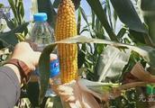农业国审玉米火种子金大棒,让农民朋友增产又创收,您还在等吗?