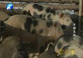 """寻猪复仇记6:野猪""""黑毛驴""""的后代桀骜不驯,这该怎么驯养呢?"""