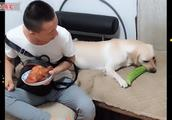 主人想吃烧鸡,拉布拉多拼命护食,最后却败给了一根苦瓜,太逗了
