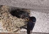 命苦的小燕子,好不容易被小鸟喂口吃的,结局让人心疼!