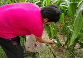 农村妈妈惊叫一声,在玉米地里发现了啥?把金毛狗狗吓的一哆嗦
