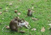 小猴子太淘了,除了吃就是一停不停地打闹,猴妈妈都快烦死了!