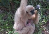 小猴子紧紧的攀爬在妈妈的怀里,长臂猿全身母爱泛滥