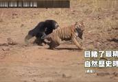 熊虎大战!眼见小熊遭猎食 熊妈「母爱喷发」打赢老虎
