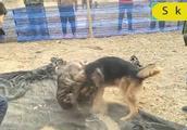 卡斯罗遭遇一条很能打的德国牧羊犬,转眼间居然好几次被德牧制住