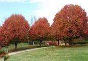 推荐几种前途无忧的彩色叶树种