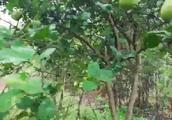 农村美女家的红柚熟了, 为了吃到嘴里, 亲自出马手撕大红柚!