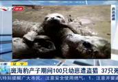 辽宁大连100只斑海豹幼崽遭盗猎,民警查获时,已有37只死亡