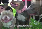 中国藏獒PK美国恶霸犬,谁能更胜一筹?