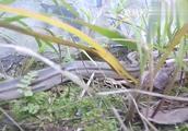 在野外遇到蛇该怎么应对处理,千万不要轻举妄动!