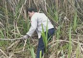 农村小伙种了一百亩甘蔗,如今砍不赢请人帮忙砍,150块钱一天