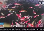 """""""水中宝石"""" 日本锦鲤之乡探秘"""