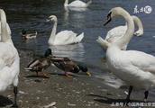 麻鴨和北京鴨哪個比較好養殖為什么