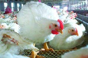 七大产业巨头垄断了中国的肉鸡市场,背后是商业模式的较量