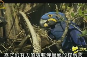 金刚鹦鹉世界最大的鹦鹉,蓝紫金刚鹦鹉会和伴侣厮守终生