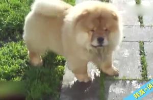 感觉有肉球向你滚来时,原来是一只小松狮在跑!