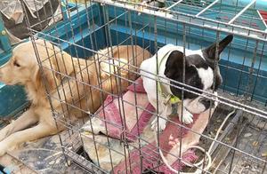 狗市上拍到的金毛和法国斗牛犬,你更喜欢哪种狗狗?