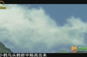 蓑羽鹤每年要飞跃喜马拉雅山脉,有些是第一次,也可能是最后一次