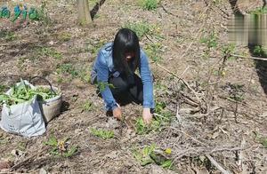 农村很常见的一种野草,浑身都是宝,大姐挖上瘾了挖了一堆还要挖
