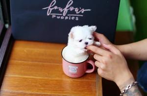 超萌超可爱的茶杯犬,有没有人喜欢