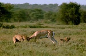 猎豹准备猎杀羚羊,结果羚羊拼死反抗,豹子这回吃了大亏!