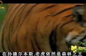 老虎是森林之王,即使猎物跑到水里,老虎也能下水去捕猎