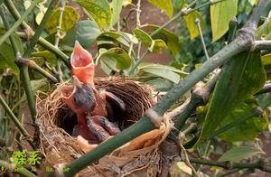 小伙子在鸟窝旁边放了一台录像机,看看鸟妈妈多久喂一次小鸟?
