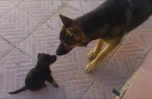 德国牧羊犬和小狗第一次见面的太兴奋了,它是多么喜欢这只小狗啊