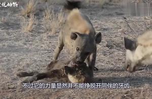 鬣狗群爆发内讧,竟然自相残杀,鬣狗被同伴攻击致死!