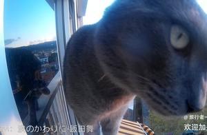 俄罗斯蓝猫:我的天!站在阳台,俯瞰朕的世界!