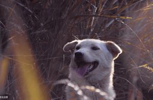 为什么农村也不养土狗了?中华田园犬越来越少了,还有这个犬类吗