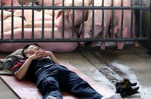 全国猪价连续上涨,东北却陷入涨跌两难!