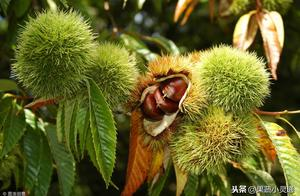 板栗透翅蛾的发生主要是因为果树田间管理不当!正确的做法是什么